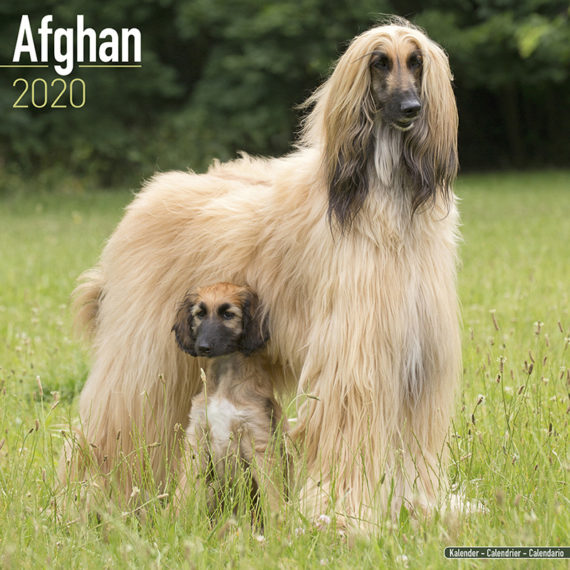 Afghaanse Windhond Kalender 2020