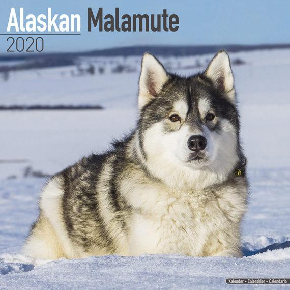 Alaskan Malamute Kalender 2020