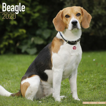 Beagle Kalender 2021