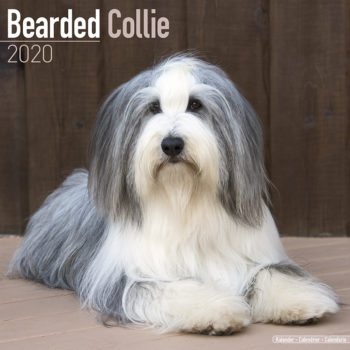 Bearded Collie Kalender 2020