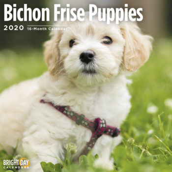 Bichon Frise Puppies Kalender 2020