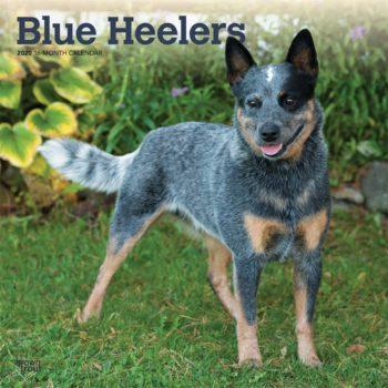 Blue Heeler Kalender 2020