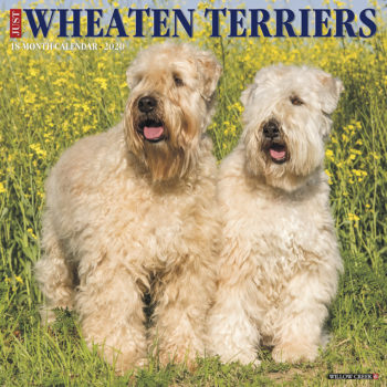Softcoated Wheaten Terrier Kalender 2020
