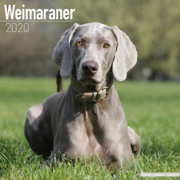 Weimaraner Kalender 2020